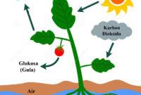 Proses Fotosintesis pada Tumbuhan Beserta Tempat Berlangsungnya