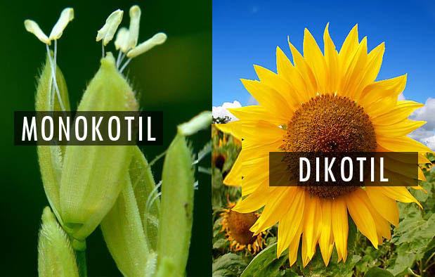 Pengertian, Ciri Ciri dan Klasifikasi Kingdom Plantae (Tumbuhan)