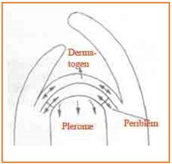 Struktur dan Fungsi Batang Dikotil