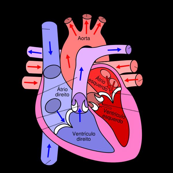 Sistem Peredaran Darah Manusia Beserta Penjelasannya Anto