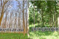 Tujuan Pohon Jati Menggugurkan Daunnya Ketika Musim Kemarau
