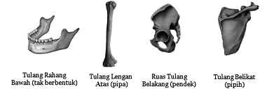 Pengertian Tulang Pipih dan Jenis Jenisnya Beserta Fungsi