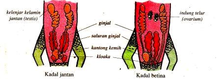 Sistem Ekskresi pada Reptil