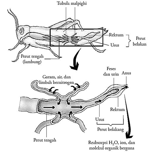 Penjelasan Lengkap Sistem Ekskresi pada Hewan Invertebrata