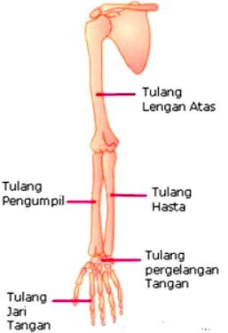 Fungsi Tulang Hasta Pada Tubuh Manusia Lengkap